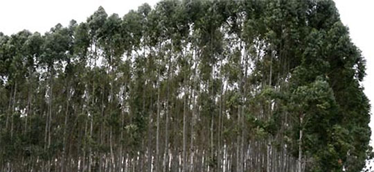GM eucalyptus trees